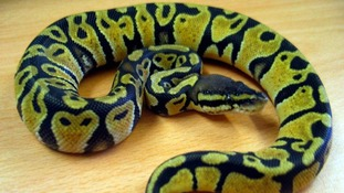The snake, nicknamed Lulu, is now being cared for at the Scottish SPCA's Glasgow Animal and Rehoming Centre