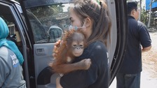 Rescuers in Borneo saved the baby orangutan from captivity