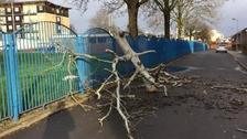 Fallen tree in Butetown