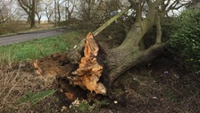 A tree down at Long Drive in Friday Bridge near Wisbech in Cambridgeshire.