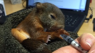 Tiny red squirrel rescued on the Sefton Coast