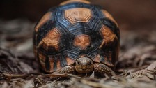 Rare tortoises unveiled at Chester Zoo