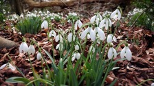Snowdrops at Anglesey Abbey, Cambridgeshire