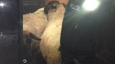 Stolen pregnant sheep safely returned to owner