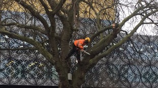 Tree surgeons cutting down the tree on the edge of Centenary Square