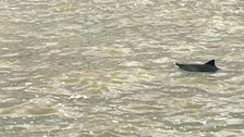Baby dolphin seen in the Thames near Embankment