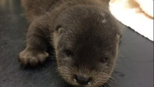 Rescued: Otter cub separated from mum in Storm Doris