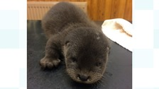 Daffi the otter cub who lost her mother during storm Doris.