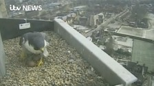Around £86,000 is being invested to help with monitoring the falcons behaviour.