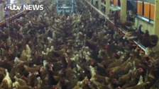 Free range eggs lose status after bird flu measures