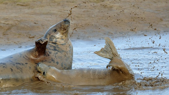 Female grey seal and her pup play in a muddy inlet
