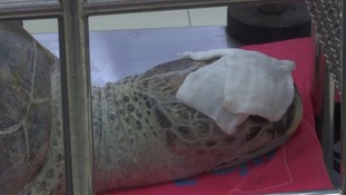 Turtle undergoes operation after eating over 900 coins