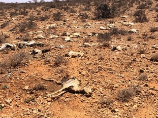 Millions of invaluable livestock have perished as Somaliland battles a devastating drought.