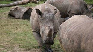 Poachers shoot dead five-year-old rhino after breaking into French zoo