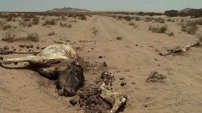 Dead animals are a common sight now in Somaliland.