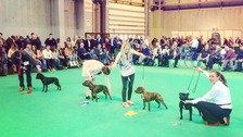 'Little Bobby' at Crufts