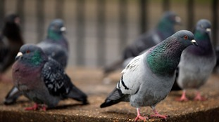 Pensioner fined £80 for feeding pigeons in Ealing