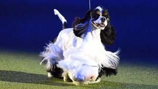 Crufts 2017: American Cocker Spaniel Afterglow Miami Ink takes top prize