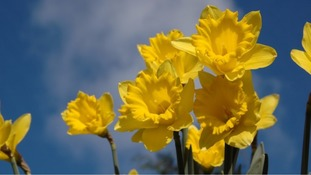 Daffodils brightening the blue skies in Warwickshire