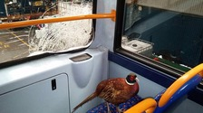 Pheasant in bus