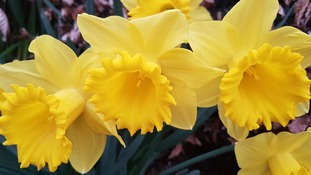 close up photo of yellow daffodils