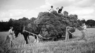 Shire horses on a farm