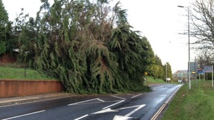 The spruce tree fell on to the Western Way in Exeter, last night.