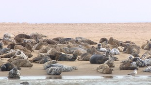 Natural beauty - the 4,000 seals at Scroby Sands