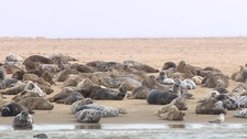 Seals at Scroby Sands.