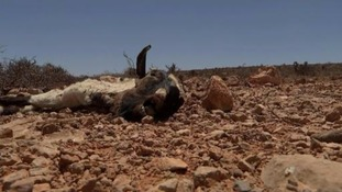 Livestock is dying from lack of food and water