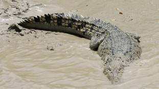 Stock image of a saltwater crocodile.