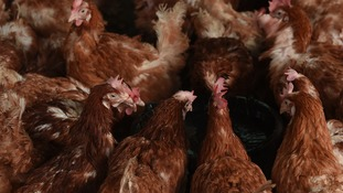 Hens & Chickens housed to prevent spread of Bird Flu