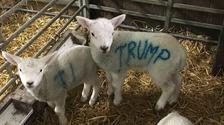 Trump the Lamb
