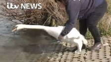 Dozens of swans returned to river after oil spill