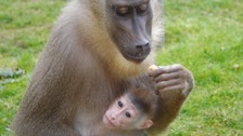 Suffolk zoo celebrates birth of rare monkey