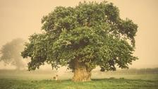The Brimmon Oak