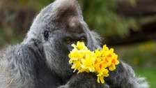 Gorilla receives flowers signalling the start of spring