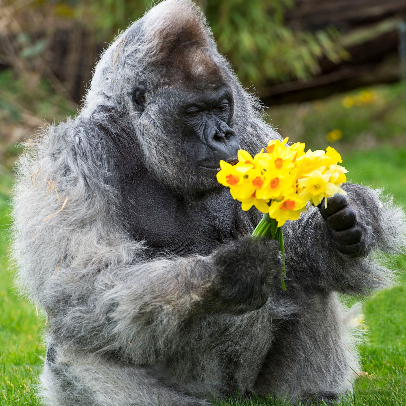 Gorilla receives flowers signalling the start of spring ...