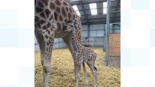 The baby Kordofan giraffe