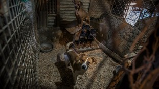 The dogs were kept in 'pitiful' conditions, HSI said.