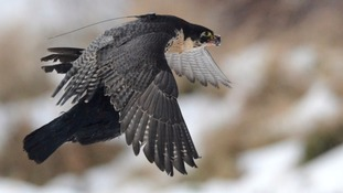 Peregrines, like all birds of prey, are protected by UK law.