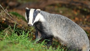 The vaccine would spread naturally among badgers.