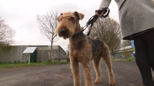 Sam the Airedale