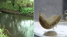 Species like killer shrimps (right) are a threat to plants and animals.