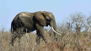 Elephants roam freely in Kruger National Park, South Africa's most popular wildlife park