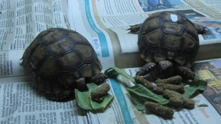 Tortoises stopped at the border
