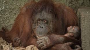 Endangered orangutan born at Chester Zoo