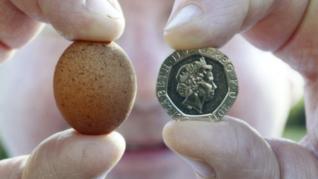 The egg is only just bigger than a 20 pence coin