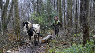 Horse logging at Guisborough Forest