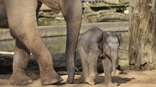 An Indian Elephant calf in its enclosure at Twycross Zoo, Warwickshire